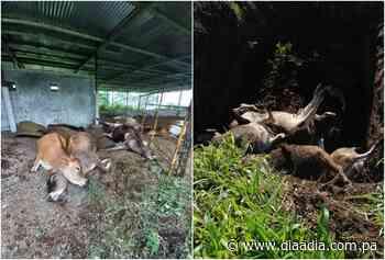 Mueren 16 reses envenenadas en el corregimiento de Guaca en David - Día a día