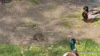 Tiere in Neu-Ulm: Ratten töten junge Schwäne – unternimmt die Stadt zu wenig? - SWP