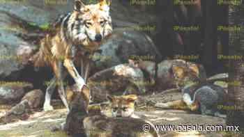 Cinco cachorros de Lobos Mexicanos llegan a Chapultepec - Pásala
