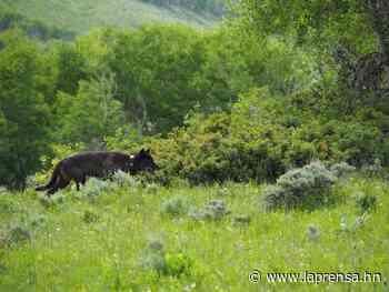 EEUU: Por primera vez en 80 años nacen lobos grises en Colorado - La Prensa de Honduras