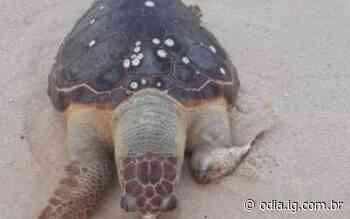 Tartaruga marinha adulta é encontrada morta em Maricá - O Dia