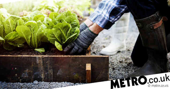 Veg pickers being 'paid £20 an hour' thanks to Brexit and Covid