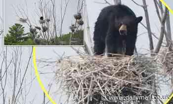 75-pound black bear climbs five-storey tree