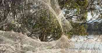 'Spider apocalypse' hits Australia and blankets area in thousands of spooky webs