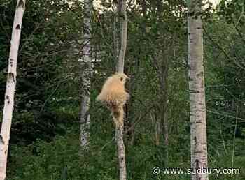 Video: Off-colour porcupine surprises a Thunder Bay family