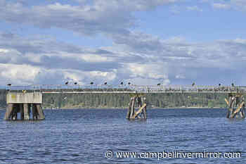 Eagles gather on Argonaut Wharf for a free feast - Campbell River Mirror