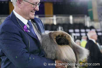 Prime Peke! Wasabi the Pekingese wins Westminster dog show - Campbell River Mirror