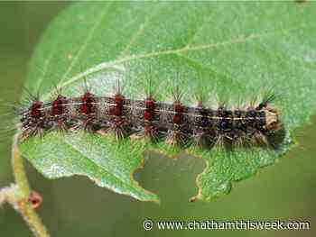 Invasive European gypsy moths spotted in Chatham-Kent - Chatham This Week