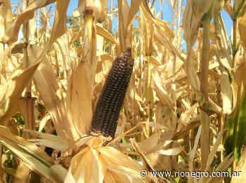 Qué es el maíz negro que se produce en el Alto Valle y qué propiedades tiene - Diario Río Negro