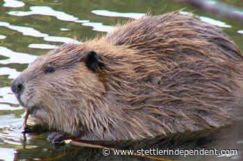 Beaver secretion found as part of ancient throwing dart in Yukon - Stettler Independent