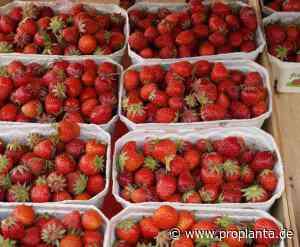 Erdbeeren kaum von Hagel und Regen getroffen - Proplanta - Das Informationszentrum für die Landwirtschaft