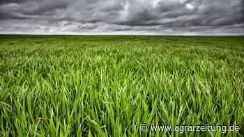 Getreidemärkte: Regen zieht Chicago ins Minus - agrarzeitung online