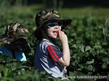 Photo Gallery: Picking strawberries at Stevens Gardens