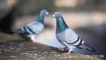 Dorfbewohner erschießt Tauben bei Pasewalk - Nordkurier