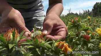 Vista Hermosa 1 de los 8 municipios productores de cártamo en Michoacán - Brunoticias