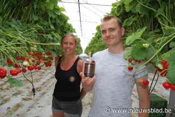 """Dries (40) maakt gin van afgedankte aardbeien: """"Blij dat ze een tweede leven krijgen"""""""
