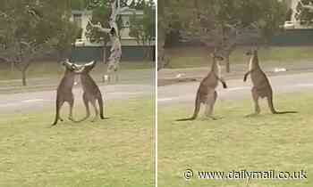 Roo want a piece of me? Astonishing moment two South Australian kangaroos go head-to-head in a fight