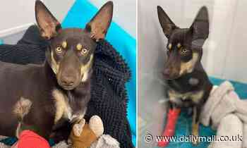 'Toffee' the Australian kelpie puppy miraculously survives after she jumped out of a car
