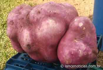 Agricultores de Xaxim colhem batata doce de 8kg - Lato