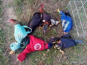 Em Monte Alegre, PM flagra rinha de galos e 12 pessoas são apresentadas na delegacia por maus tratos a animais - G1