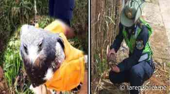 Rescatan águila mora y tortuga motelo en Amazonas y Cajamarca - LaRepública.pe