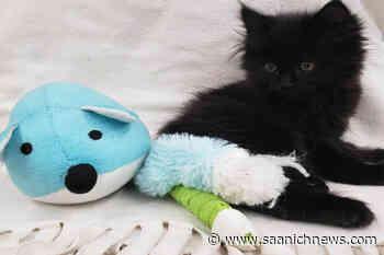 Kitten thrown from moving vehicle, needs help: Kelowna SPCA – Saanich News - Saanich News
