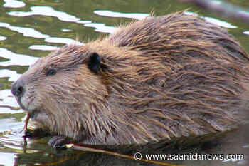 Beaver secretion found as part of ancient throwing dart in Yukon - Saanich News