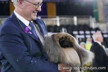 Prime Peke! Wasabi the Pekingese wins Westminster dog show - Saanich News