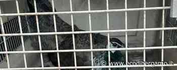 Avete perso un pavone? A Treviolo trovato sul pianerottolo di una casa - Cronaca, Treviolo - L'Eco di Bergamo