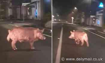 Wild boar is spotting walking down suburban street in New Zealand