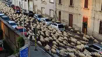 Il gregge con centinaia di pecore invade Seregno: lo spettacolo della transumanza in strada - MonzaToday