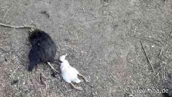 Hühner in Gudensberg getötet: Besitzer äußern sich - Ermittlungsgruppe nimmt Arbeit auf - HNA.de