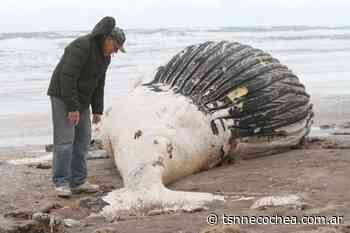 Una ballena jorobada macho, fue hallada muerta en Claromecó - TSN Noticias
