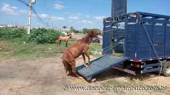 Olinda intensifica recolhimento de animais soltos nesta quarta - Diário de Pernambuco