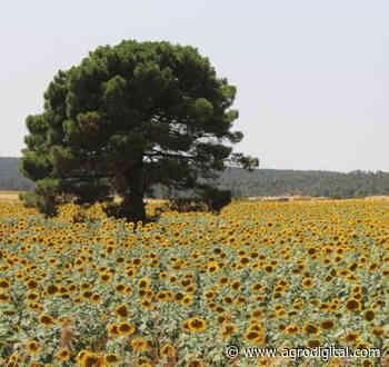 A punto de empezar la cosecha de girasol en Andalucía - Agrodigital