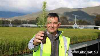 Record-breaking tree planting marks beginning of softwood industry's fire recovery - ABC News