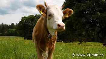Randonnées - Comment réagir lorsque notre chemin croise celui d'un troupeau de vaches ? - 20 Minutes