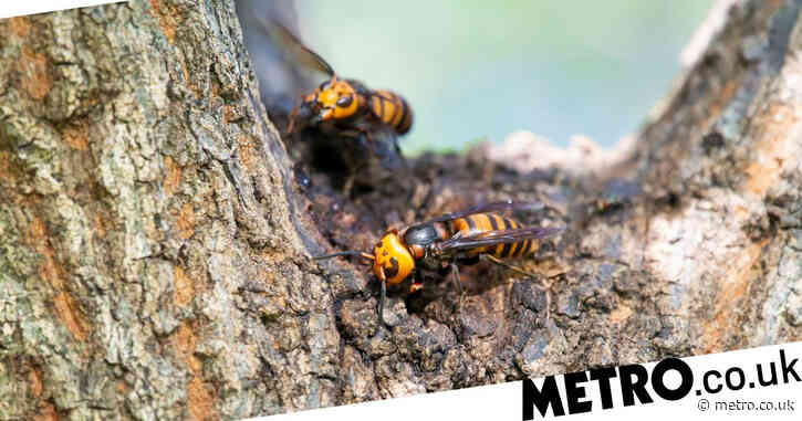 Asian hornets are spreading across Britain – here's what to do if you spot one