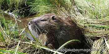 Va. On Alert for Invasive Nutria - Chesapeake Bay Magazine