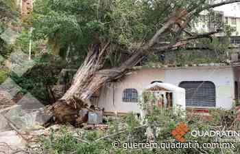 Colapsan 2 árboles por lluvias en El Coloso y Centro de Acapulco - Quadratin Guerrero