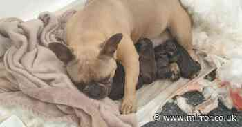 Mum reunited with stolen dog after she was found giving birth 240 miles away
