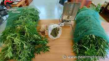 Partinico, 56 piante di marijuana in un terreno: trentenne arrestato anche per furto di energia - PalermoToday