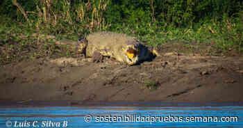 Enorme caimán fue avistado entre Puerto Boyacá y Puerto Triunfo - Colombia hoy - Semana.com