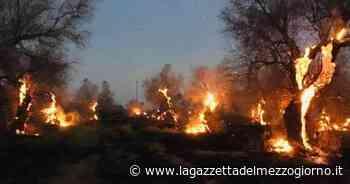 In fiamme ettari di ulivi seccati dalla Xylella, strada inagibile a Gallipoli: è stata riaperta - La Gazzetta del Mezzogiorno