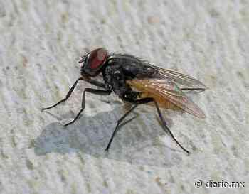 Plaga de moscas y cucarachas invade Parral - El Diario