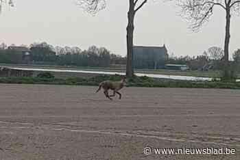 'Wolf van Kalmthout' komt uit Duitse roedel