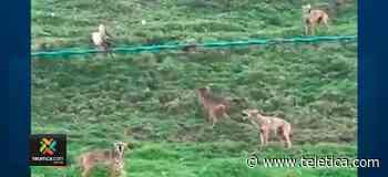 Grupo de coyotes sorprendió a vecinos de Cartago - Teletica
