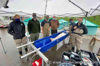 Indigenous name chosen for largest sturgeon captured by Vanderhoof hatchery – Vanderhoof Omineca Express - Omineca Express