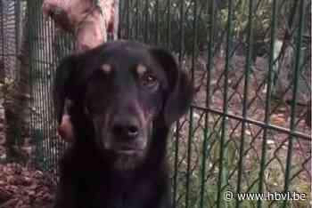 Ongrijpbare hond uit Eindhoven na 52 dagen toch gevangen in Houthalen-Helchteren - Het Belang van Limburg