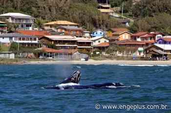 Baleias Franca são avistadas na Praia da Gamboa, em Garopaba - Engeplus